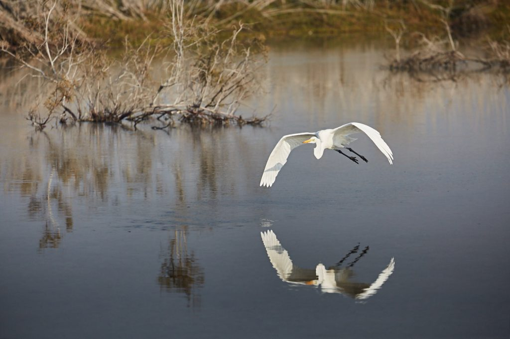 Birds in Flight - An Intermediate Egret [Egretta intermedia] flies over water at Dubai's Ras Al Khor wildlife sanctuaryEgret