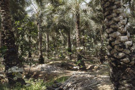 Qalat Dhaya date farm, Ras Al Khaimah