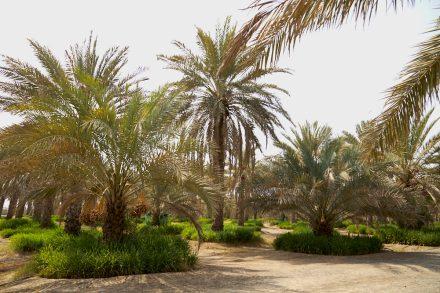 Image of date farm - Sharjah - UAE
