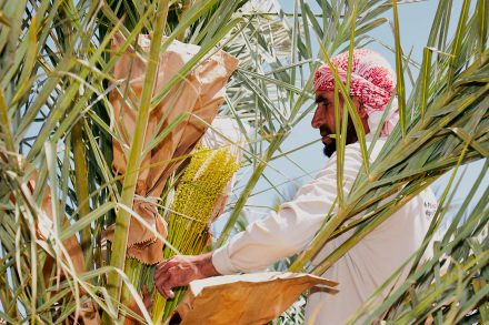 Professional photography - Environmental portrait - A date farm worker pollinates a female date palm