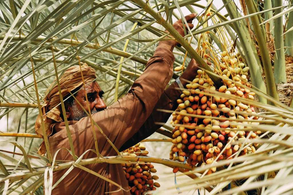 Photgraphy and me: A UAE date farm worker harvests dates