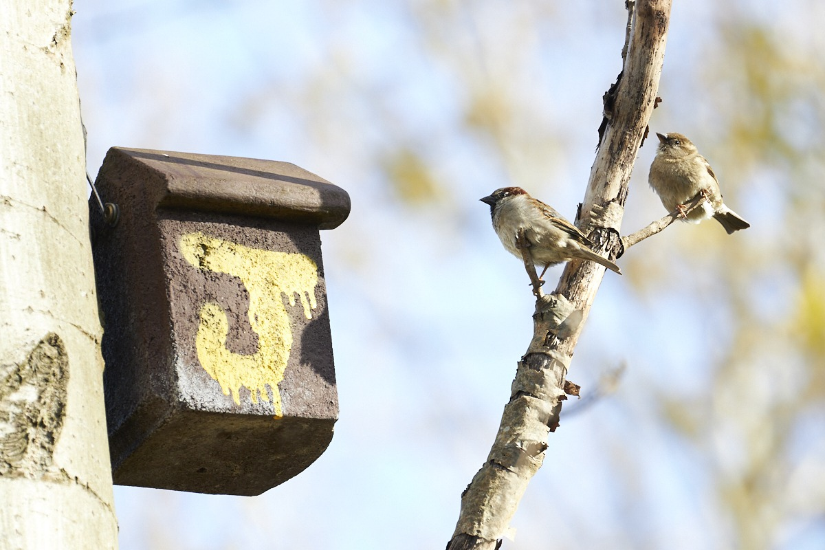 Image: Sparrows near the entrance to their nesting box